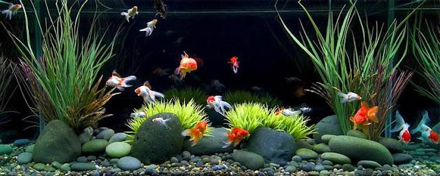 Daftar Harga Ikan Hias Tahun 2016 - Budidaya Ikan Hias