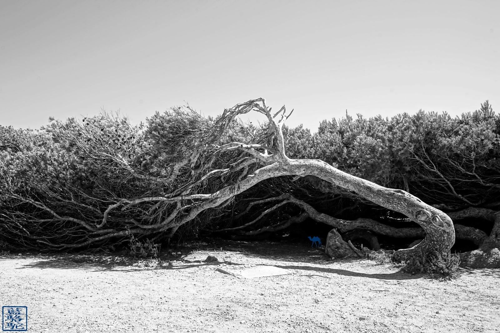 Le Chameau Bleu - Pin anémomorphosé de l'ile des Embiez - Var - Week End dans le Sud Est de La France