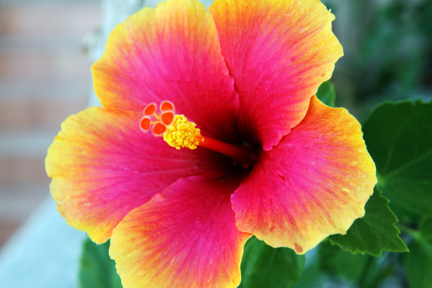 VIda : Flor Oriental: