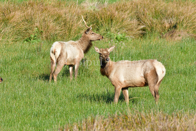 Tule Elk  Resting on the grass