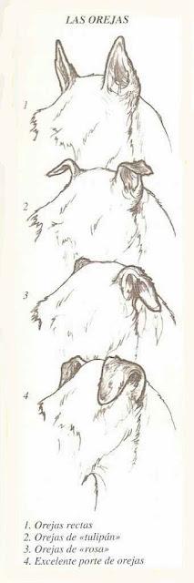 Formas de las orejas de un perro raza Jack Russell