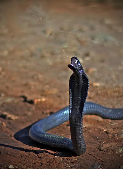 Snake Eyes Hd Wallpapers Snakes Spitting Cobra