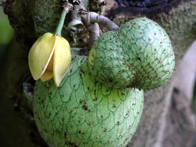 Frutti immaturi annona muricata
