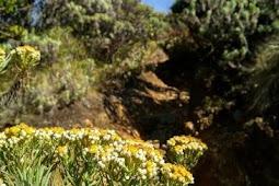Bunga Edelweis di Gunung Lawu Jawa Timur