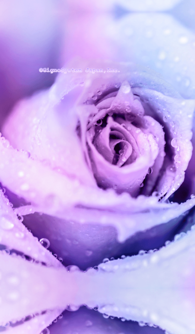 紫の薔薇きせかえ