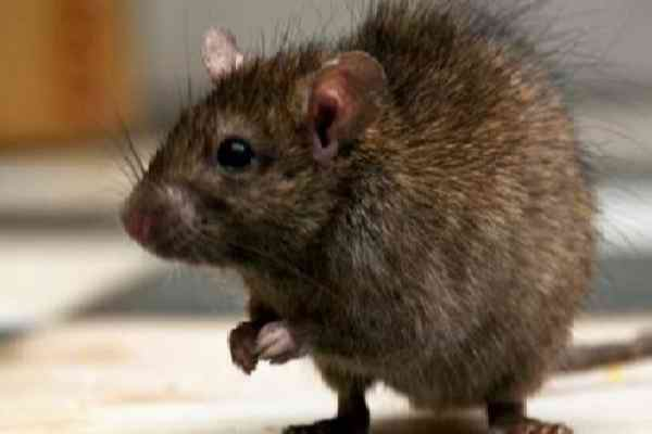Tips Cara Mengusir Tikus di Atap Rumah