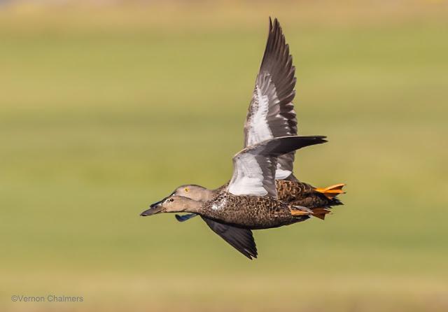 Cape Shoveller Ducks: Canon EOS 6D / 400mm Lens ISO 640 /f6.3 1/4000s - Woodbridge Island, Cape Town