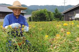 造花のツバキを染色するベニバナの収穫