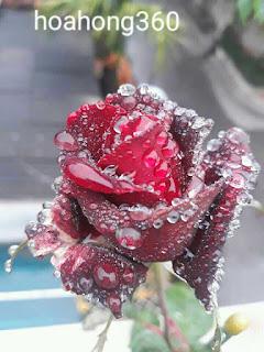hình ảnh bông hồng thủy tinh