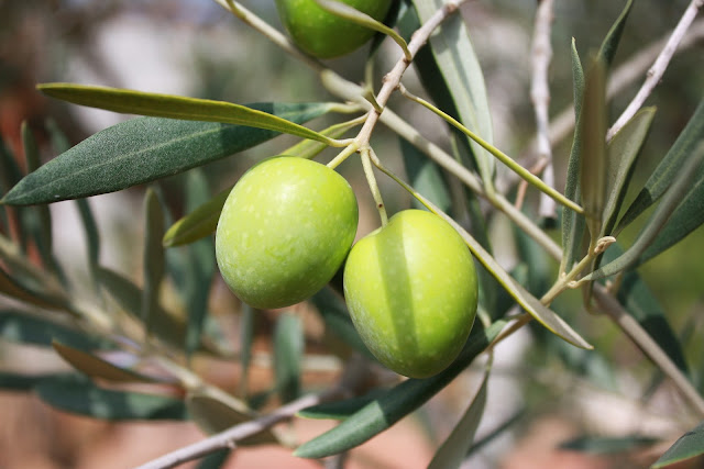 9 BENEFITS OF EATING OLIVES - RictasBlog
