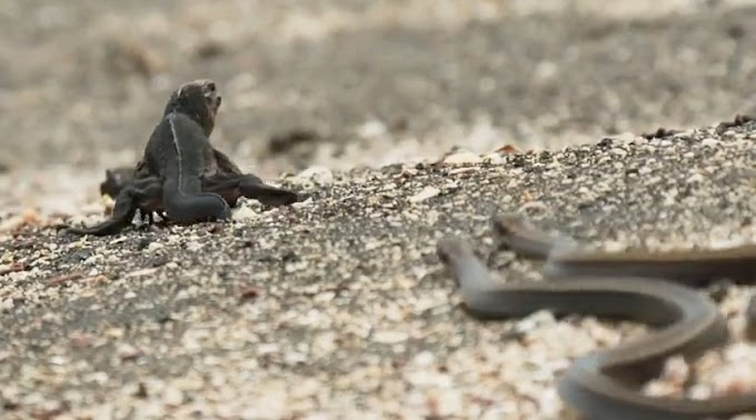 İguana ile Yılanların Aksiyon Dolu Yaşam Savaşı (Belgesel Video)