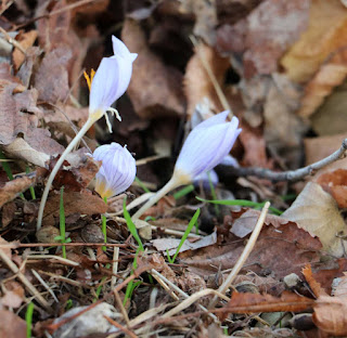Crocuses putting in an appearance