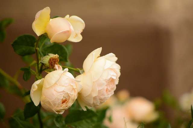 rose, wollerton old hall, amy myers, small sunny garden, desert garden,