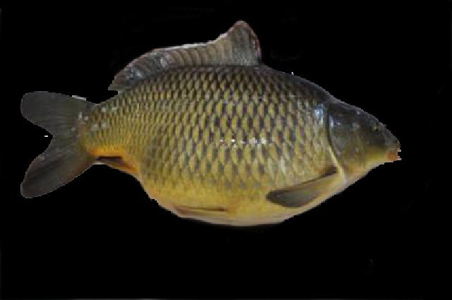 Jenis Jenis Ikan Mas Hias Dan Konsumsi Terlengkap Beserta Gambarnya