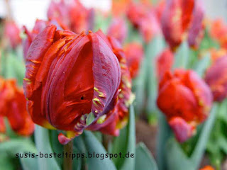 Tulpe in orange und rot, Foto von Stampin' Up! Demonstratorin in Coburg