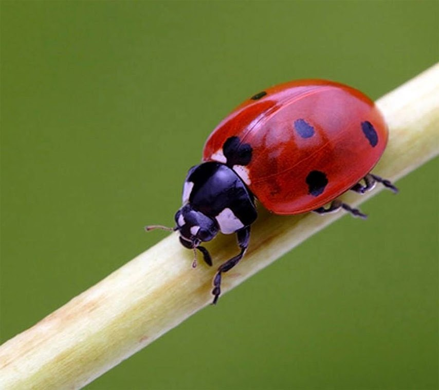 Ladybug Macro HD Wallpaper for Mobile Phone