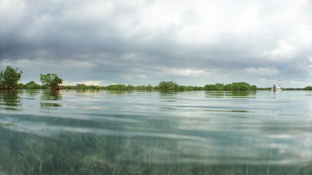 Crocodile mangroves in Jardines de la Reina