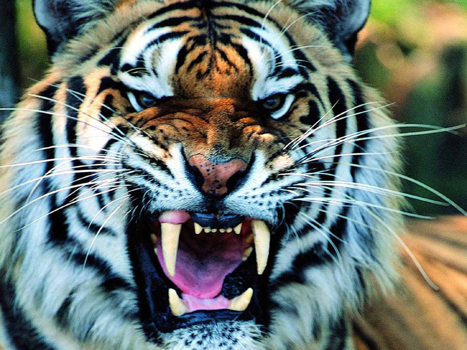 angry tiger face wallpaper - photo #15