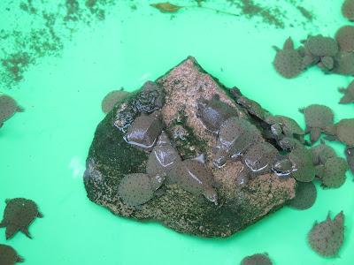Galápagos que se ofrendan en  Wat Ban Tham - Kanchanaburi