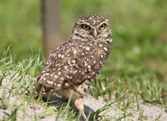 Burrowing Owl - Brian Piccolo Park, Florida
