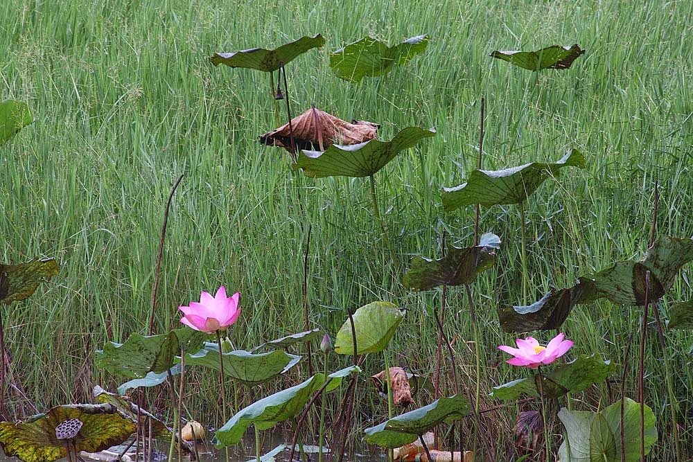 picture of lotus flowers blooming