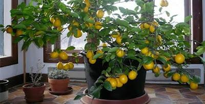 Salute benessere come piantare un albero di limone in vaso for Terriccio per limoni in vaso