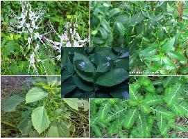 Sebelum masuk ke pokok pembahasan perihal aneka jenis  Aneka jenis tumbuhan obat asam urat