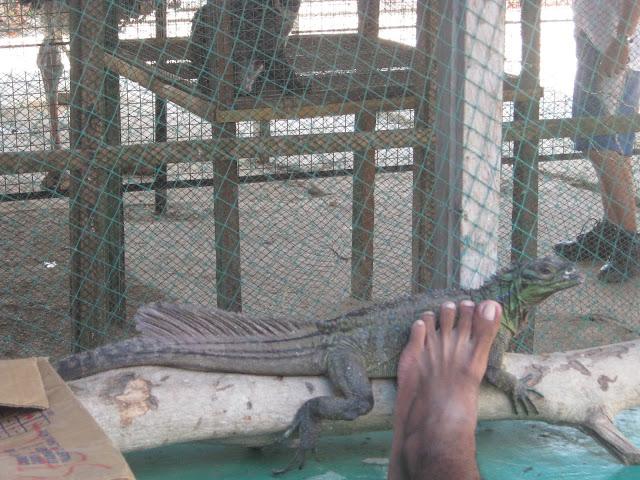 iguana bohol zoo
