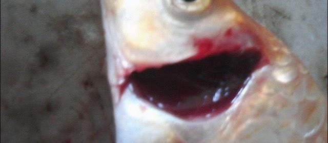 Gambar Insang Ikan Lengkap dengan Bagan Alur Pernafasan