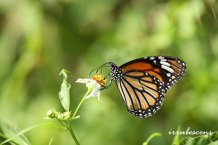 臺灣蝴蝶圖鑑 Butterflies of Taiwan: N02-2 虎斑蝶