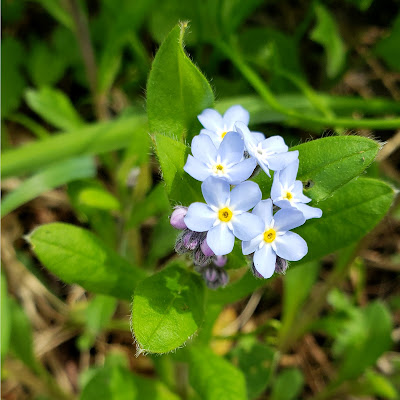 May 14, 2018 Walking at lunch past a forest floor covered in forget-me-nots