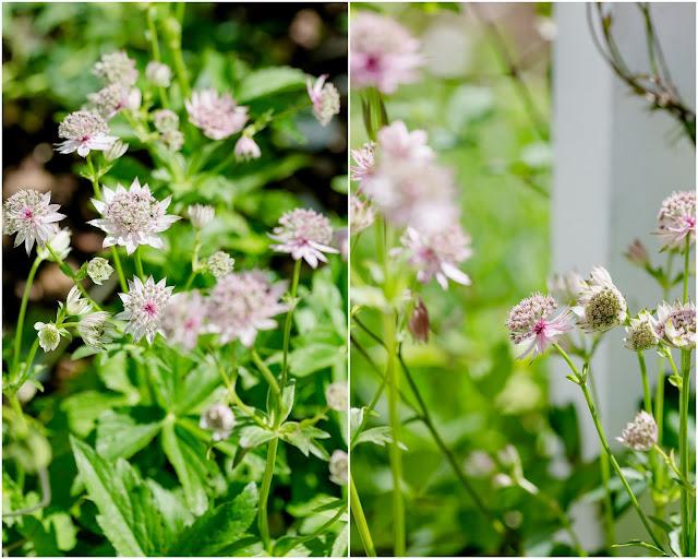 Impressionen aus dem Rosengarten, Pomponetti, Sterndolden