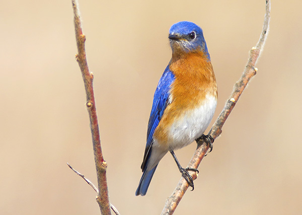 Eastern Bluebird in St. Catharines