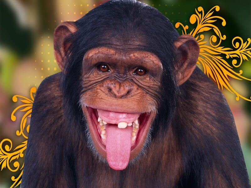 Image d 39 animaux petit singe rigolo qui tire sa langue - Petit singe rigolo ...