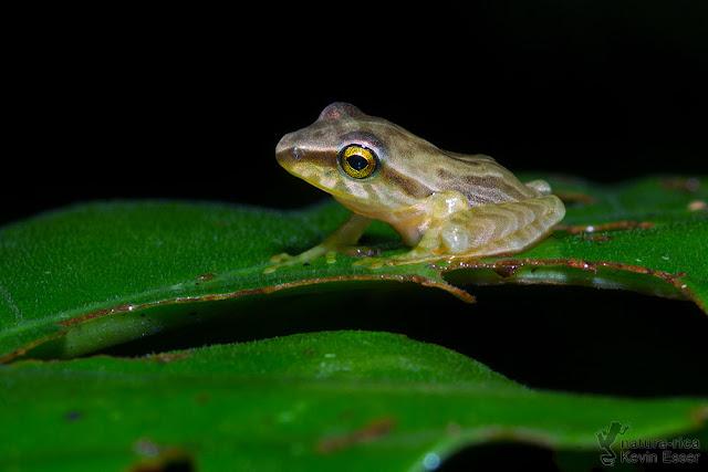 Craugastor noblei - Noble's Robber Frog