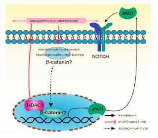 Остеогенез при механическом изменении внеклеточного матрикча