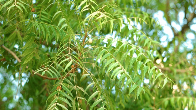 Neem Leaf for Skin