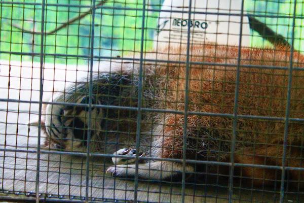 Hewan Kukang di Shinka Zoo Tanjung Bajau - Catatan Nizwar ID