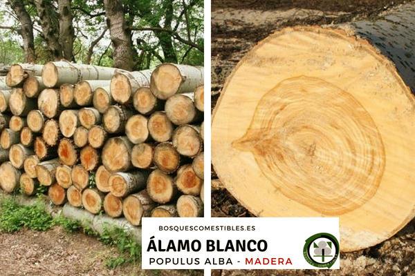 La madera del álamo blanco, Populus alba, es clara, blanda y fácil de trabajar.