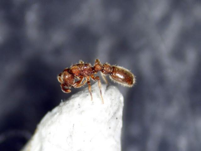 畢氏粗角蟻 Ooceraea biroi - 螞蟻軍團 ANTS SQUAD