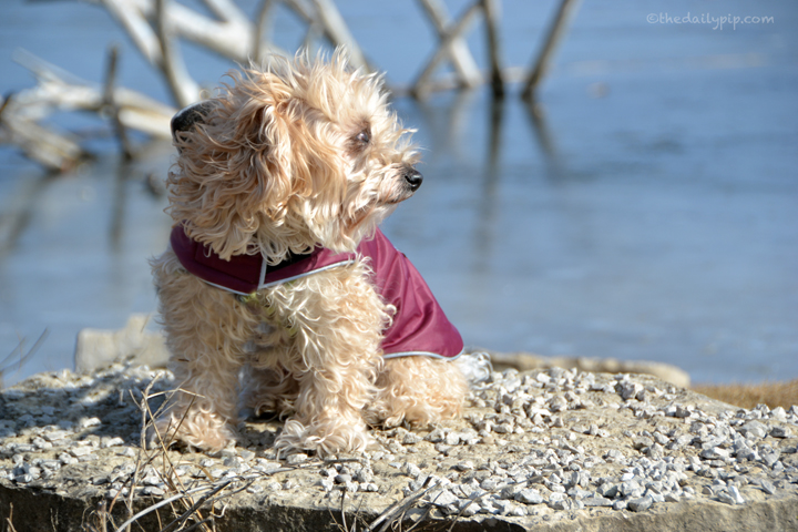 Ruby, the rescued Yorkie-Poo soaks up some winter sunshine