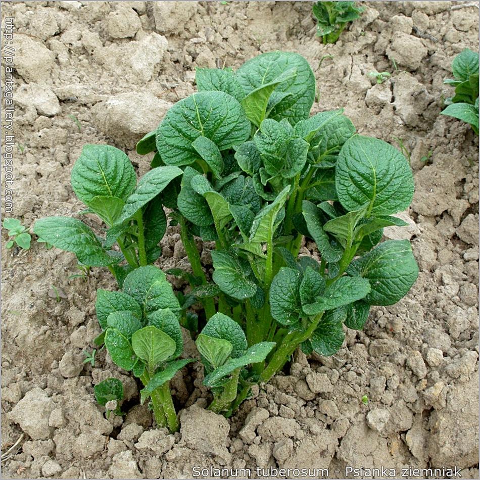 Solanum tuberosum - Psianka ziemniak, kartofel