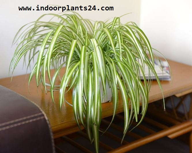 Liliaceae  SPIDER PLANT indoor house plant photo