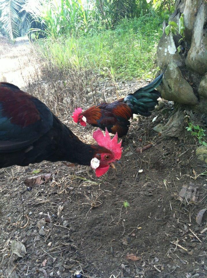 Al Kisah Ayam Hutan Bagaimana Mengenal Ayam Hutan Asli