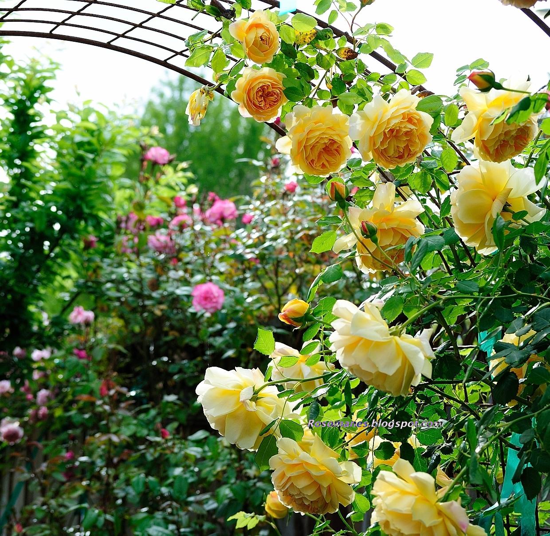 A Rose Is A Rose Golden Celebration