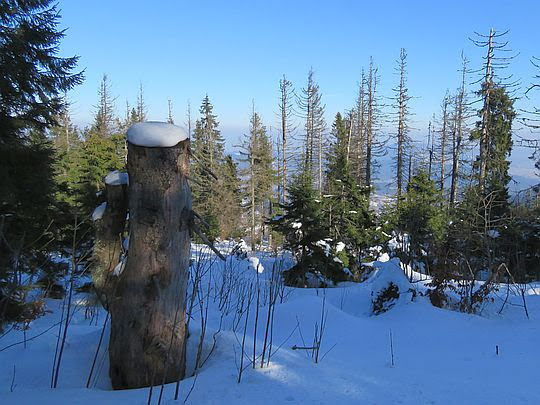 Las pod szczytem Gorca.