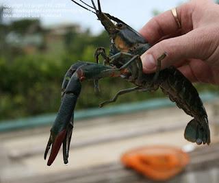 Lobster cakar merah