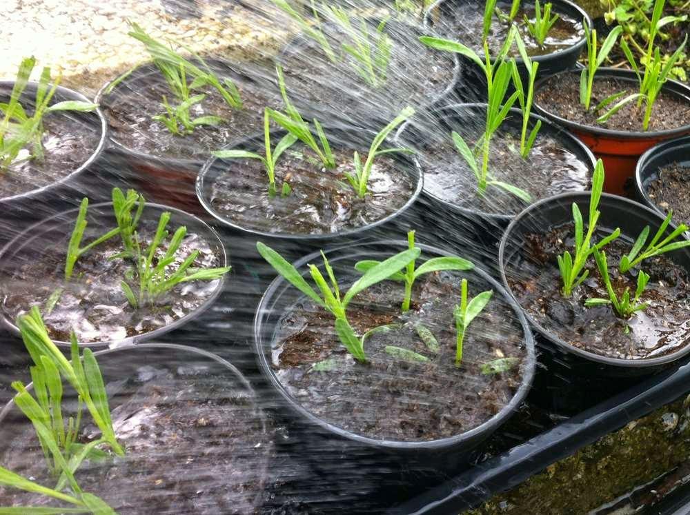 Tolle Gartentipps Lavendel Durch Stecklinge Vermehren