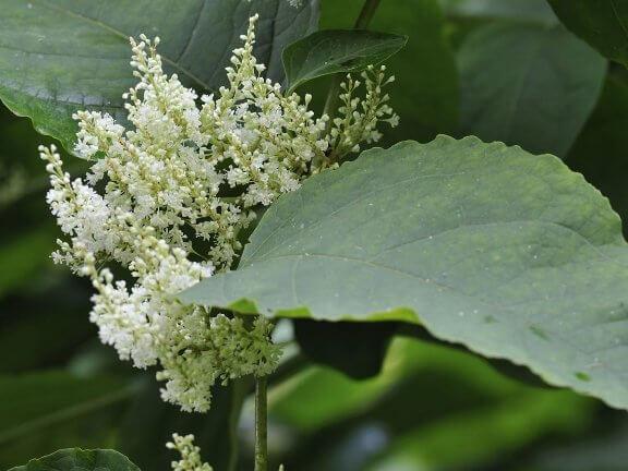 japanese knotweed untuk kanser vivix