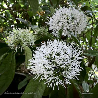ดอกเข็มน้ำ : Ixora nigricans [Rubiaceae]